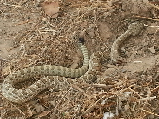 Rattlesnake my brother killed in his yard
