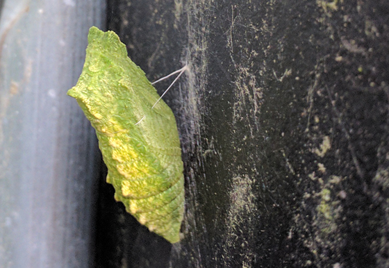 Chrysalis on water container.